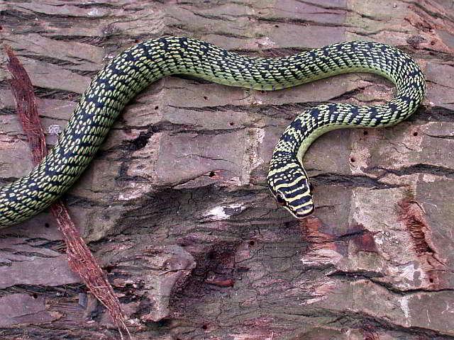 Thailand Häufig Thailand In Häufig Vorkommende In Schlangen Vorkommende Nmn8v0w