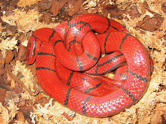 Schlangen Thailands Oreocrypthophis Bambusnattern