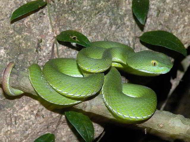Schlangen Thailands Crotalinae Grubenottern